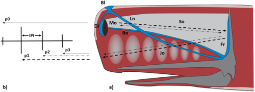 This is a photograph of a scheme of the sperm whale's head and sound production. (a) Bl: Blow hole; Di: Distal air sac; Fr: Frontal air sac; Jo: Junk organ; Ln: Left naris; Mo: Monkey lips; Rn: Right naris; So: Spermaceti organ. (b) According to the bent horn model, the production of a click generates multiple pulses (p0, p1, p2, p3 etc.). CREDIT Caruso et al.