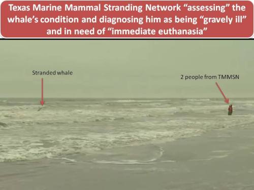 "@Stranded No More. Stranding ""response"" Texas Marine Mammal Stranding Network style. When the picture speaks louder than words."