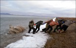 Some carcasses of the walruses were taken away by villagers and eaten, it is understood. Picture : Andrey Gynon