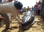The two-ton whale calf was found on a beach. Photo : Duc Huy