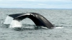 Researchers say polypropylene fishing rope is proving dangerous to the North Atlantic right whale. (CBC)