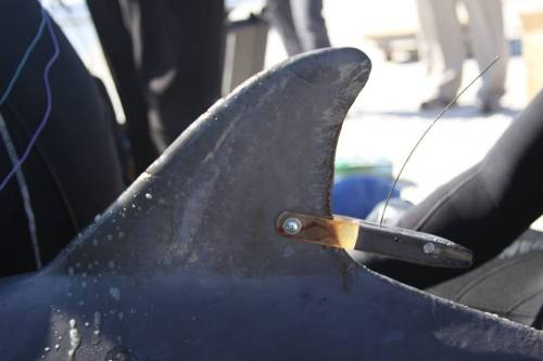 IMMS :A satellite tag will allow the dolphin's movements and survival to be tracked.