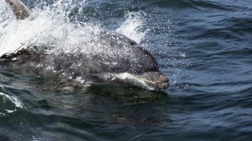 The bottlenose dolphins is one of the species accumulating the pollutant in its blubber