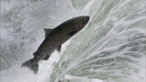 Chinook salmon are the favoured food of southern resident killer whales. (Associated Press)