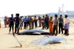 Efforts are on to push the stranded sea mammals into deep waters. (Express Photo)