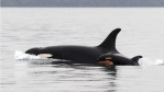 There are only about 80 southern resident killer whales, though the population has seen a baby boom in the past year, including newborn orca calf J51 with her mother, J19, photographed in Feb. 2015 off San Juan Island. (Dave Ellifrit/Center for Whale Research)