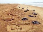 Dead Olive Ridley turtles on Puri beach - TOI Photo