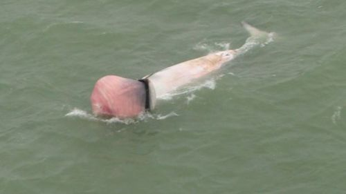 The dead whale, with its tongue distended, was seen in the Thames Estuary