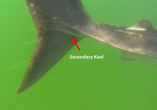secondary-keel-shark