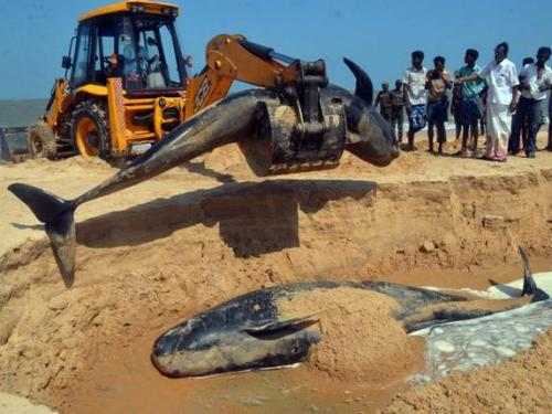 Whales that were washed ashore being buried at Manapad coast in Tuticorin district, Tamil Nadu, on Tuesday. Photo : N. Rajesh