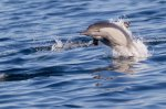 short-beaked common dolphin. Tim Stenton