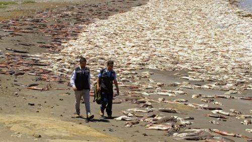 varamiento-en-masa-calamares-Chile