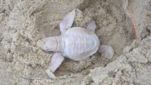 Albino green turtles are extremely rare and may have a low rate of survival, experts were quoted as saying