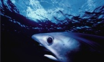big-eyed-thresher-shark