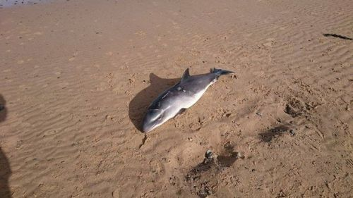Porpoise was found on Redcar beach