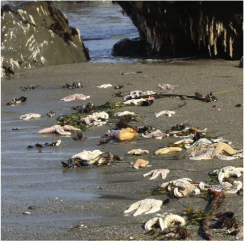 Ochre sea stars washed up on the California coast as part of a mass mortality event in 2011. (Photo by Ashley Robart)