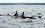 Newborn orca calf J55 with family off San Juan Island, WA on Tuesday, January 19, 2016. Photo : NOAA Fisheries.