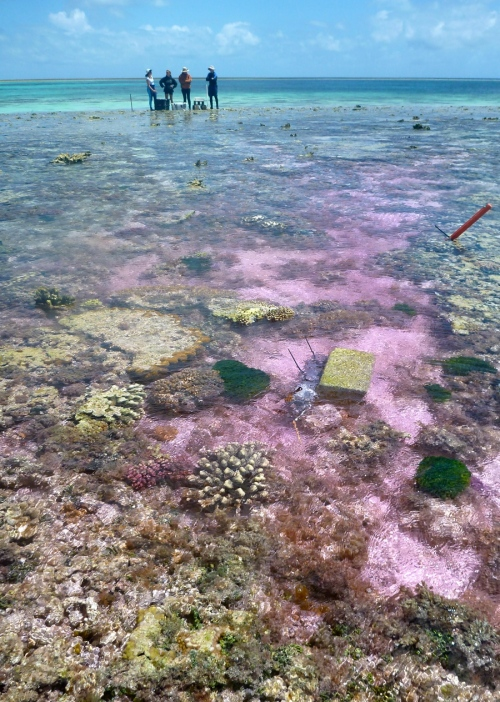 Researchers used a pink dye to help trace the movement of seawater across One Tree Reef. Rebecca Albright.