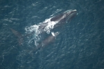 North-atlantic-right-whale-gulf-of-Maine-USA