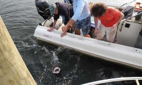 Researchers attempt to capture a juvenile sand tiger shark. In 2015, NY Seascape scientists succeeded in capturing and releasing 15 juvenile sharks in an attempt to understand more about the species in local waters. Credit: John Delaney/WCS