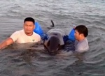 The wounded false killer whale (Pseudorca crassidens) that was stranded along the shoreline of Botolan town in Zambales has been released back into the sea on Tuesday morning. CONTRIBUTED PHOTO