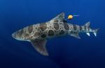 A tagged leopard shark. Kyle McBurnie