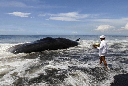 A Hindu priest wades ankle deep in the water to go to the dead whale and place an offering on its back
