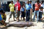 A file photo of Gangetic dolphin which was killed by local fishermen at Biratnagar some 240kms south east of Kathmandu on in June 2008. Photo : AFP