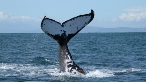 A normal humpback whale tail.