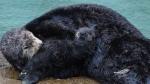 otter-mom-pup-Monterey-bay