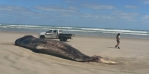 A DOC ranger examines the dead sperm whale on Ripiro Beach.