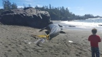 Scientists don't yet know what caused the death of this young grey whale near Ucluelet. (Les Doiron)