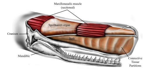 Sperm_whale_head_anatomy