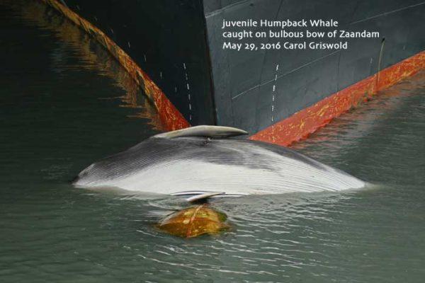 Dead Humpback Whale Discovered On Cruise Ship Bow Alaska USA - Cruise ship whale