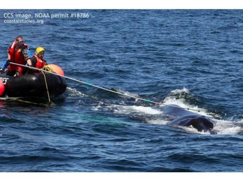 entangled-humpback-whale-Massachussetts
