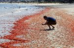 Patrick Webster of the Monterey Bay Aqaurium photographs some of the millions of pelagic red crabs that washed up on Del Monte Beach in Monterey on Monday, May 23, 2016. (Vern Fisher - Monterey Herald)