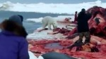 Still from a amateur video captured by Chad Ukpik Bernick, of Wainwright. A hungry polar bear approaches the bowhead whale landed by hunters.