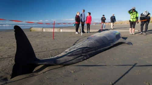 An adult female, found about 500 metres away from the younger whale, was already dead. Photo Alden Williams/Fairfax NZ