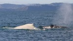 White humpback whale Migaloo was spotted during the annual Cook Strait Whale Survey last year.