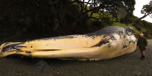 "At 22 metres long the decomposing whale is staring to get a ""very smelly"" and potentially dangerous."