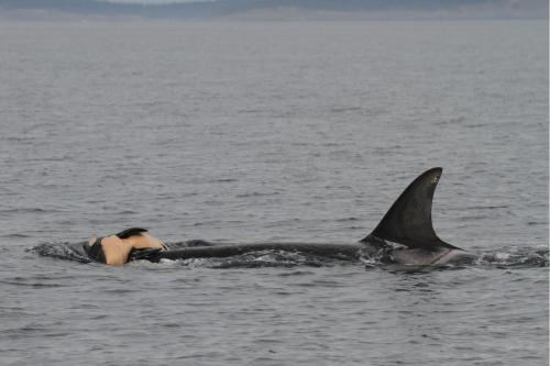 A mother orca carries her dead newborn. Several species of whales show signs of mourning. Photo Robin W. Baird, Cascadia Research