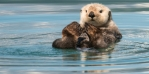 The sea otter, a urchin-eater and possessor of the densest fur in the animal kingdom. Photo / iStock