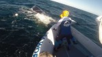 A whale was freed from shark nets on the Gold Coast by a Sea rescue team Photo : Sea rescue