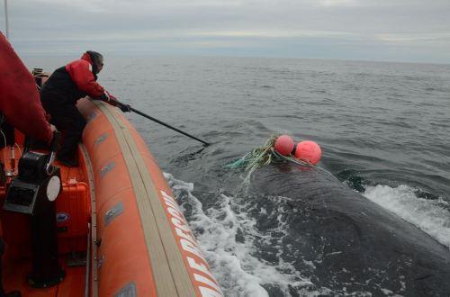 desenchevetrement-baleine