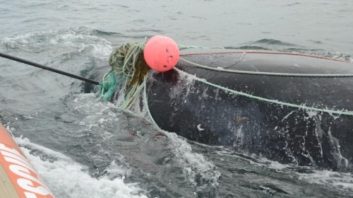 An endangered whale, severely tangled in the Bay of Fundy, was freed after a five-hour rescue. (CTSY: Campobello Whale Rescue)