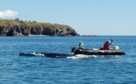 entangled-whale-Newfoundland-Canada