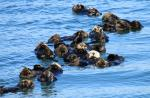 sea-otter-raft