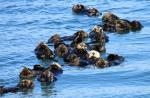 sea-otter-raft