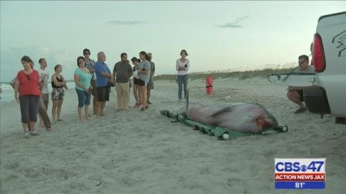 two_pygmy-sperm-whales_Fernandina-beach-Florida-USA