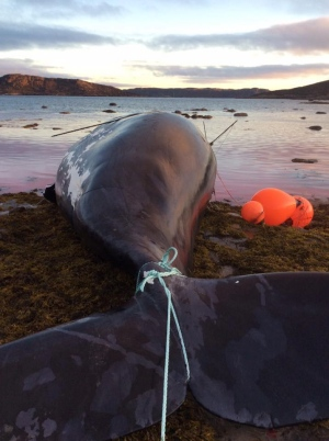 The community of Pangnirtung harvested this bowhead whale Friday Sept. 9. It was the community's third bowhead whale hunt in recent memory. (Peter Kilabuk)